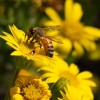 Honey bee on Maryland golden aster