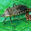 Squash bug female and eggs Photograph courtesy of ESA