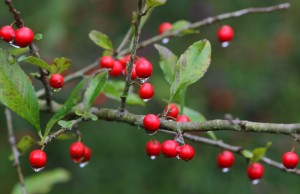 Possumhaw (Ilex decidua) berries are a favorite among songbirds. Photo by Debbie Roos.