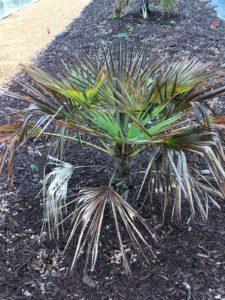 cold damaged palm plant